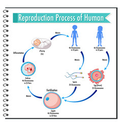 Reproduction process human infographic vector