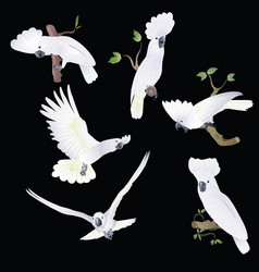 Six white-cocked cockatoo in various poses vector