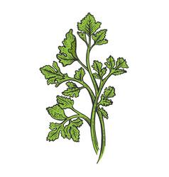 Cilantro parsley herb color sketch engraving vector