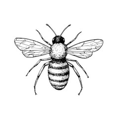 Honey bee vintage drawing hand drawn vector