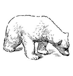 Sketch sniffing polar bear cub vector