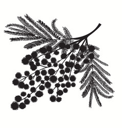 hand-drawn branch of mimosa black silhouette on vector image