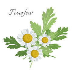 feverfew floral element with green leaves vector image