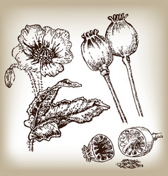 Poppies set hand drawn in sketch style vector