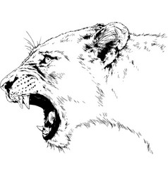 Roaring forward lion drawn in full growth vector