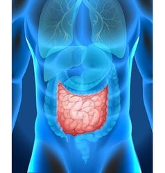 Small intestine in human body vector image