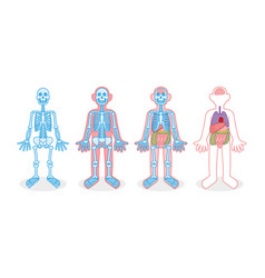 set skeleton internal organs vector image