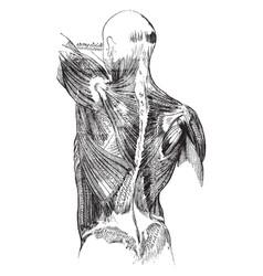 Back muscles vintage vector