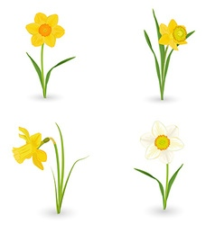 collection lovely daffodils spring flowers for vector image
