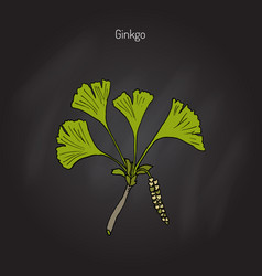 Ginkgo biloba ginkgo or maidenhair tree vector