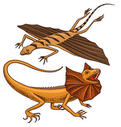 Frilled-necked lizard flying dragon or agama in vector