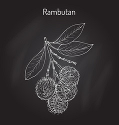 rambutan nephelium lappaceum tropical fruit vector image