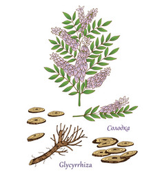 glycyrrhiza 2 vector image vector image