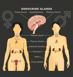 endocrine system image vector image