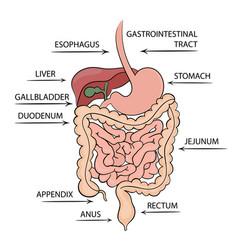 Gastrointestinal tract structure medicine educatio vector