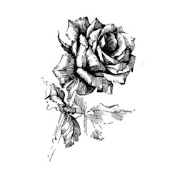 rose ink drawing flowers vector image
