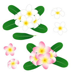 white and pink plumeria frangipani isolated vector image vector image