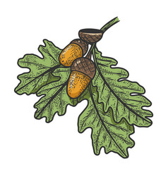 oak branch with acorns sketch vector image