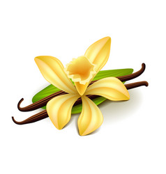 Vanilla isolated on white vector