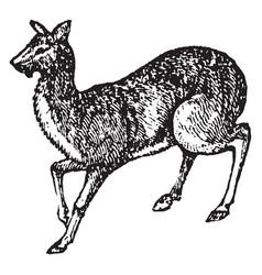 Musk deer vintage vector
