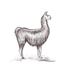 lama sketch lama vector image