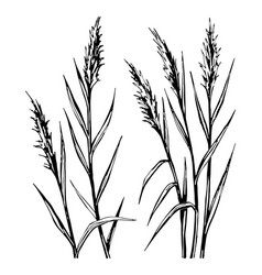 hand drawn sketch of the reed isolated on white vector image