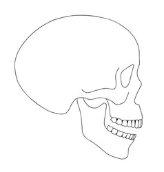 A human skull on a white background with a single vector