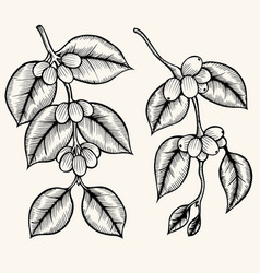 coffee branch vector image