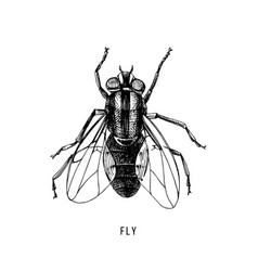 hand drawn fly on white background vector image