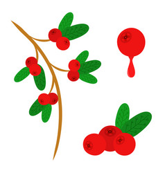 cowberry lingonberry in flat style sweet red vector image vector image