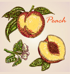 collection of highly detailed hand drawn peach vector image