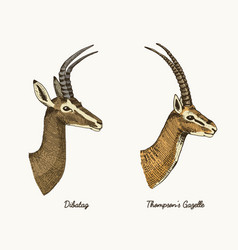 Antelopes dibatag and thompsons gazelle vector