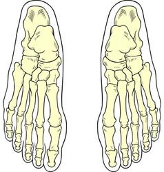 Foot bones vector image vector image