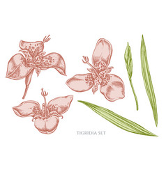 collection of hand drawn pastel tigridia vector image