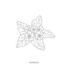 Hand drawn primrose flowerplant design elements vector
