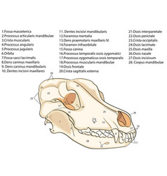 The skull of a dog structure of the bones of the vector