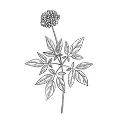 Drawing ginseng plant vector
