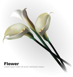 White Calla Flowers vector image