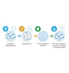 Probiotic lyophilization process vector