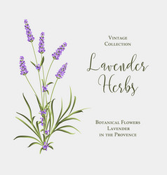 label with lavender bush bunch summer flowers vector image