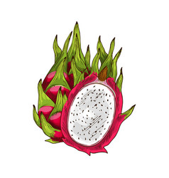 dragon fruit isolated sketch with pink pitaya vector image
