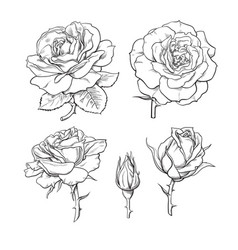 rose flowers set stages rose blooming from vector image