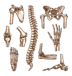 Bone and joint of human skeleton sketch set vector