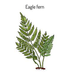 Eagle fern pteridium aquilinum medicinal plant vector