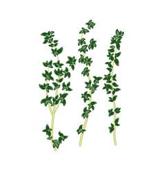 Fresh green sprigs thyme savory on white vector