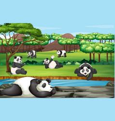 scene with many pandas at open zoo vector image