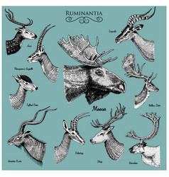 Big set horn antlers animals moose or elk vector
