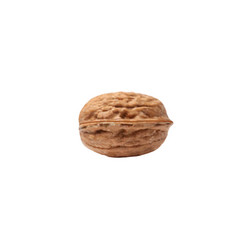 llustration of a realistic walnut on white vector image