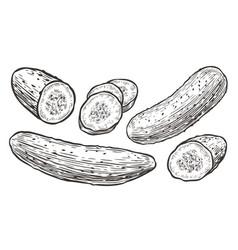 Cucumbers sketch vegetables natural food vector