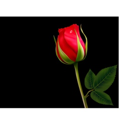 Red rose on a black background vector image